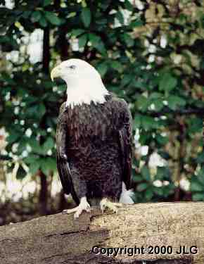 Bald Eagle - Symbol of our Country